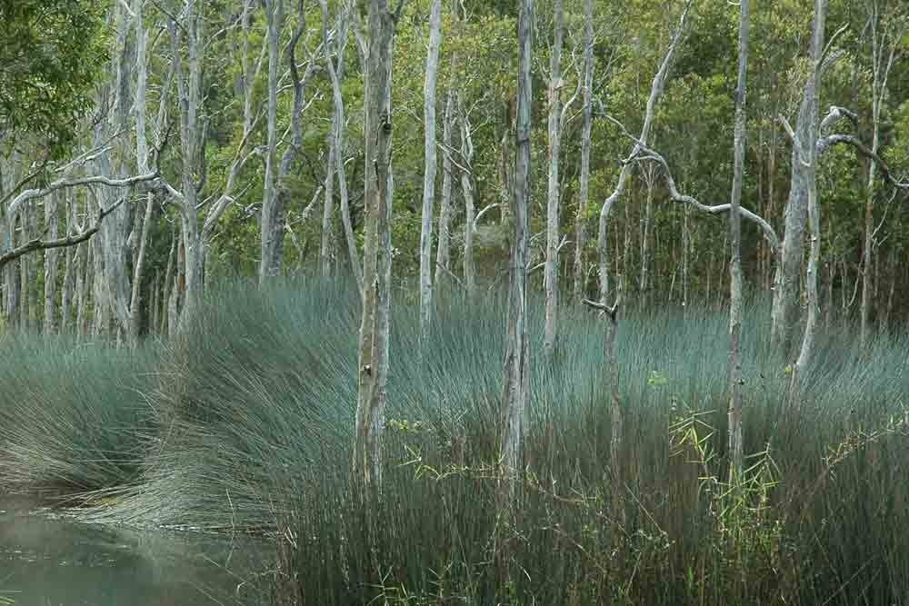 long grass, lagoon and paper bark trees in Karawatha Forest in Stretton